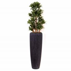 Pflanzarrangement Dracaena frangrans compacta in 2 Größen